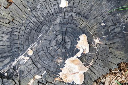 古い灰色の朽ちた切り株。背景、テクスチャ、自然。 写真素材