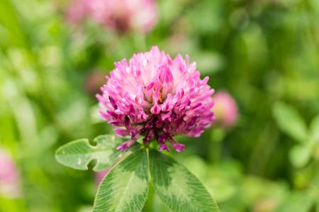 Pink Clover flower in summer garden. nature, macro.