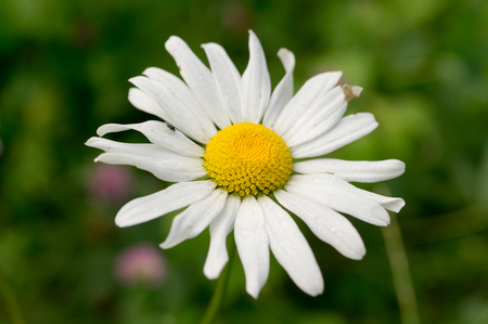 marguerite: Camomile in summer garden at morning. nature, flower
