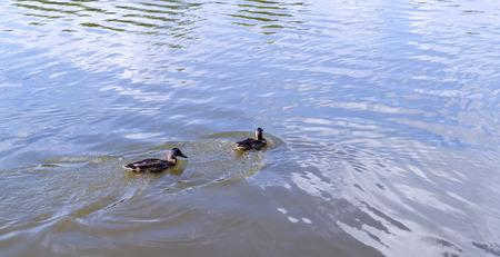 ducks in the turbid pond at summer. wildlife, nature. Stock Photo