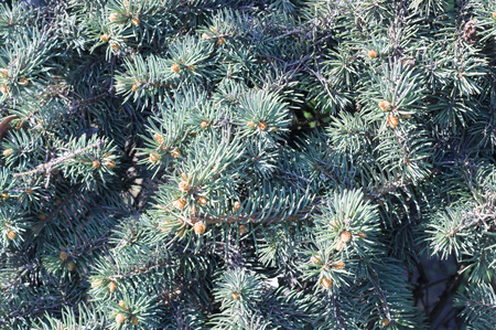 fluffy fir-tree branch background close up. nature, vignette 版權商用圖片