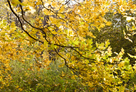 trees with yellow leaves in the park at autumn. background, nature.