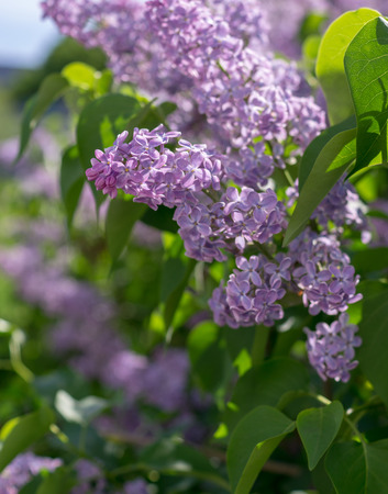 branch with pink purple spring lilac flowers. nature, botanical.
