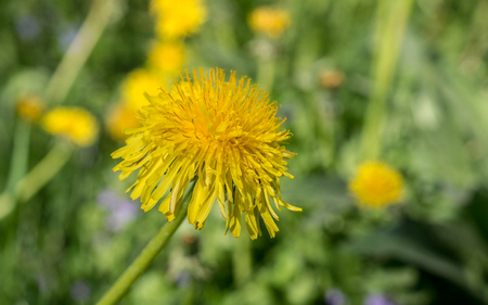 yellow dandelion flowers on grass at summer. close-up, nature.