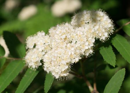 Beautiful white flowering shrub Spirea aguta. nature, botanical. Reklamní fotografie
