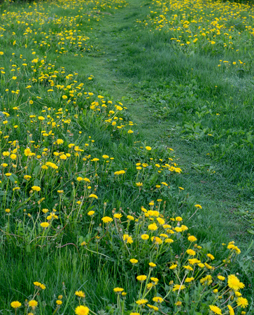 yellow dandelion flowers on grass at summer. botanical, nature.