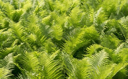 green fern leaves at summer. nature, background. Reklamní fotografie