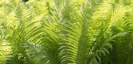 green fern leaves at summer. nature, background. 版權商用圖片