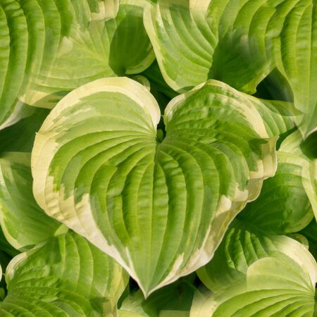 seamless big green leaves in garden close-up pattern. texture, natural.