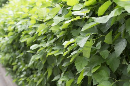wall of bushes with green leaves with perspective in summer park. close-up, background, nature.