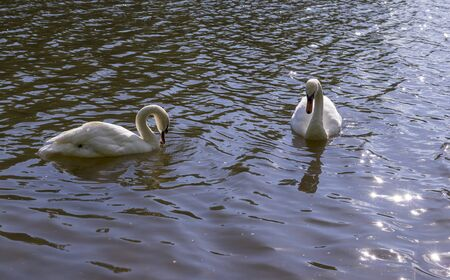 two white swans in forest lake at summer. nature, animals 版權商用圖片