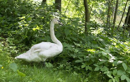 white swan in forest grass at summer. nature, animals Reklamní fotografie
