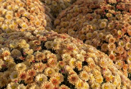 Beautiful orange chrysanthemums background with perspective. flower, nature.
