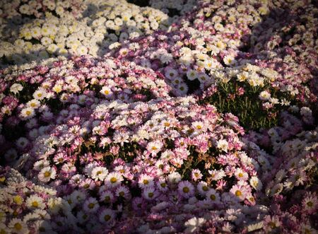 Beautiful pink chrysanthemums background with perspective. vignette, flower, nature. Reklamní fotografie