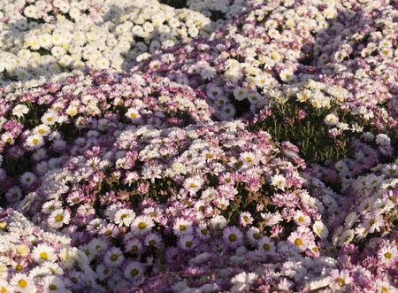 Beautiful pink chrysanthemums background with perspective. flower, nature.