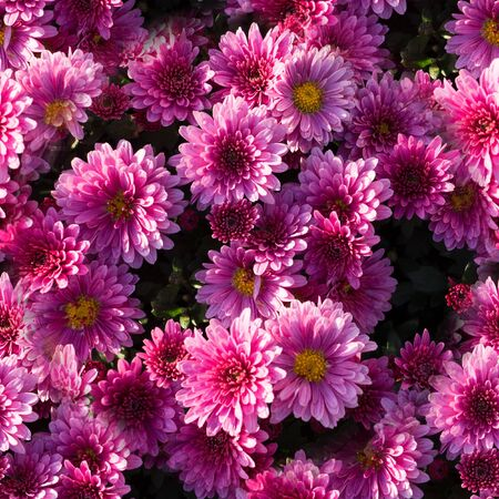 Beautiful pink chrysanthemums