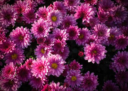 Beautiful pink chrysanthemums background with vignette. flower, nature.