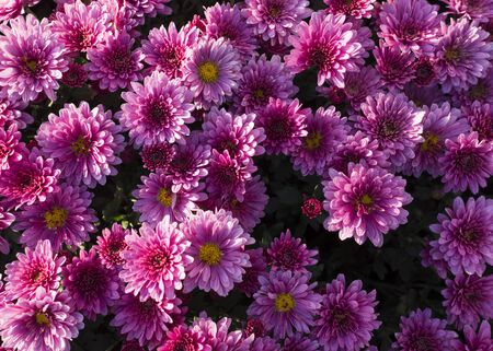 Beautiful pink chrysanthemums background. flower, nature.