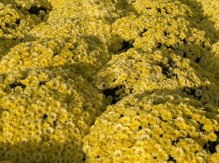 Beautiful yellow chrysanthemums background with perspective. flower, nature. 版權商用圖片