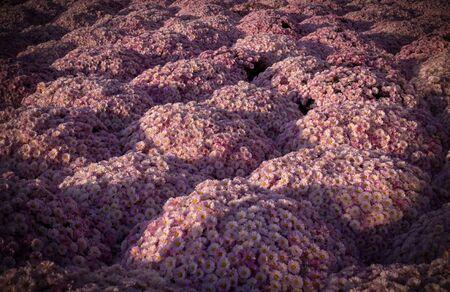 Beautiful pink chrysanthemums
