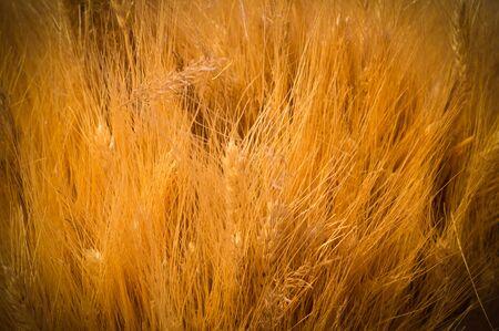 dry spica floral closeup background with vignette. field, autumn harvest backdrop