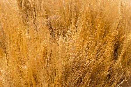 dry spica floral closeup background. field, autumn harvest backdrop 版權商用圖片