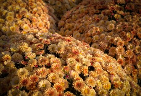 Beautiful orange chrysanthemums background with perspective. vignette, flower, nature.
