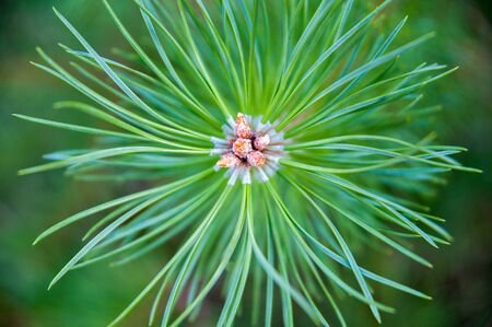 woodsy: Branch of young fir-tree with pale-brown pine cones and green needles