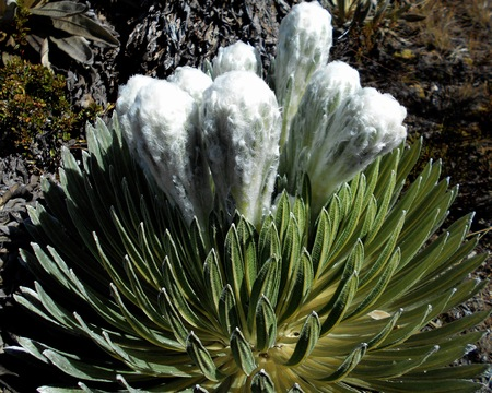 frailejón, plants of the Andean mountains