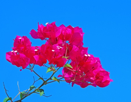 Pink bougainvillea paper flower on blue sky photo