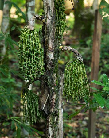 fishtail: Fishtail Palm, Wart Fishtail Palm in forest, thailand