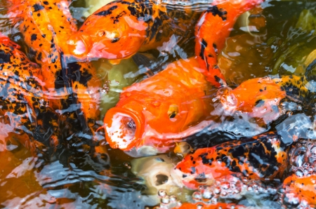 close up koi fish in the fish pond photo