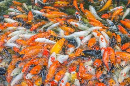 many Koi fish swim on the pond photo