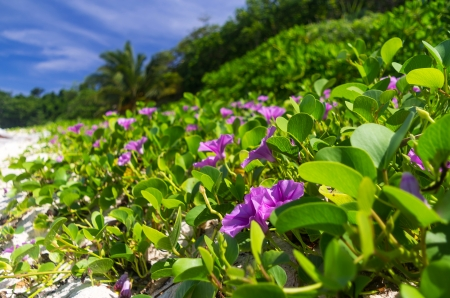 pes caprae: Ipomoea on a beach or Beach Morning Glory