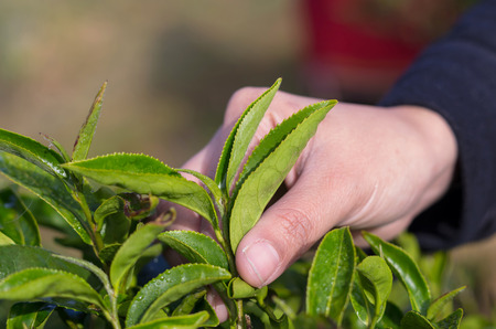 plucking: plucking tea leaf by hand Stock Photo