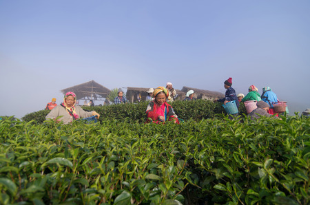 CHIANG MAI,THAILAND - JANUARY 11 : Many unidentified farmer pick in tea leaves between green tea bushes on January 11, 2014 in tea field,ang khang, Chiang mai, Thailand. photo