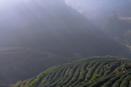 CHIANG MAI,THAILAND - JANUARY 11 : Many unidentified farmer pick in tea leaves between green tea bushes with sun ray of mountain background on January 11, 2014 in tea field,ang khang, Chiang mai, Thailand. photo