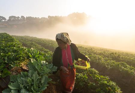 january sunrise: CHIANG MAI, Tailandia - 10 de enero: los agricultores no identificado recoger en Strawberry fruta cuando la salida del sol con niebla el 10 de enero de 2014 en el campo de fresas, khang ang, Chiang Mai, Tailandia.