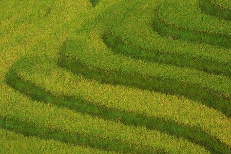Close up Terrace rice fields,sapa, vietnam photo