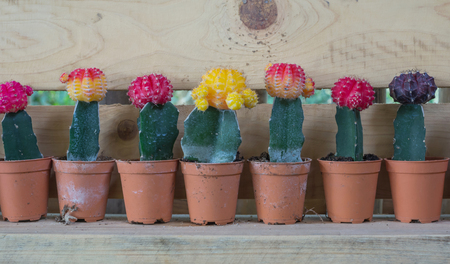 many Cactus in pot photo