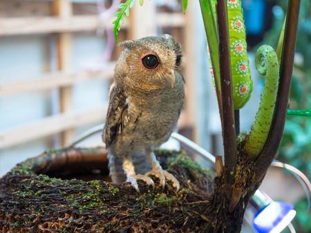 eared: Baby Long Eared Owl Perching