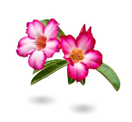 Close up Beautiful Desert Rose,scientific name is adenium obesum photo