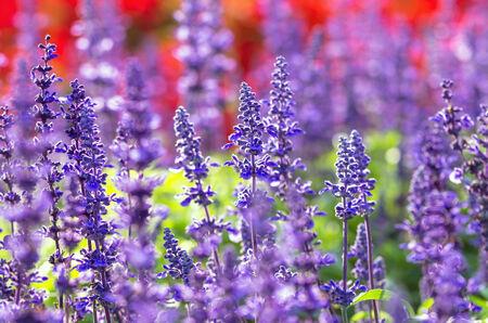 Blue Salia field photo
