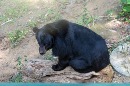 black bear: Black bear sitting on the timber Stock Photo