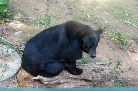 oso negro: Oso negro que se sienta en la madera