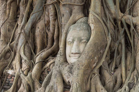 head in the sand: Head of sand stone buddha in a tree at Wat Mahathat, Ayutthaya, Thailand, public temple