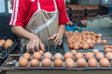 fila de personas: Granja de pollo de máquina, proceso de la línea de producción
