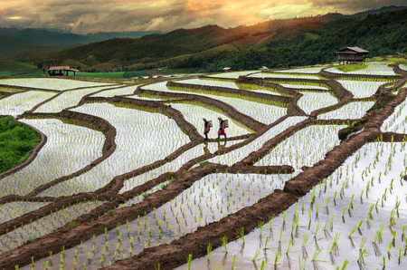 terraced field: CHIANG MAI, THAILAND - JULY 18, 2015: Unidentified Mountaineer are walking on the ridge between planting rice on July 18 in Bann Pa Bong Pieng rice terraced field, Mae Chaem, Chiang Mai province, Thailand