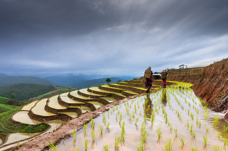 terraced field: Rice terraced field with Mountaineer are walking on the ridge between plating rice, Mae Chaem, Chiang Mai province, Thailand