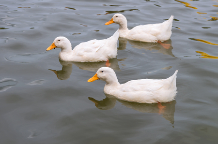White duck swimming in the lake
